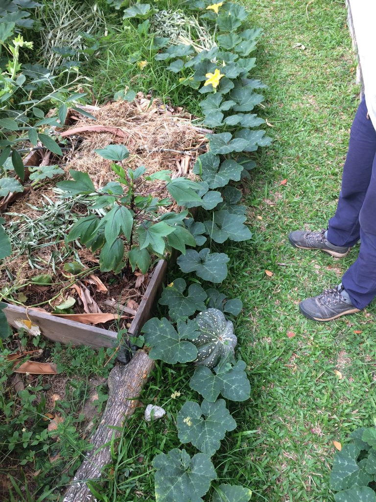 Pumpkins in growth after 5 months of resting soil bed